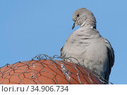 Collared dove (Streptopelia decaocto) perched on a chimney pot, Gloucestershire, UK, January. Стоковое фото, фотограф Nick Upton / Nature Picture Library / Фотобанк Лори