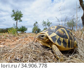 Hermann's tortoise (Testudo hermanni) in a farmland habitat bordering Mondrago Natural Park where they have been reintroduced this century, Santanyi, Majorca, May. Стоковое фото, фотограф Nick Upton / Nature Picture Library / Фотобанк Лори