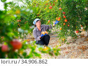 Female gardener gathering crop of ripe pomegranates in orchard. Стоковое фото, фотограф Яков Филимонов / Фотобанк Лори