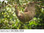 Brown-throated three-toed sloth (Bradypus variegatus) hanging from branch. Costa Rica. Стоковое фото, фотограф Guy Edwardes / Nature Picture Library / Фотобанк Лори