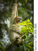 Brown-throated three-toed sloth (Bradypus variegatus). Manuel Antonio National Park, Costa Rica. Стоковое фото, фотограф Guy Edwardes / Nature Picture Library / Фотобанк Лори