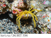 Spider crab (Oncinopus sp.) Lembeh Strait, North Sulawesi, Indonesia. Стоковое фото, фотограф Georgette Douwma / Nature Picture Library / Фотобанк Лори