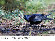 Rook (Corvus frugilegus) on woodland floor near flowering Snowdrops (Galanthus nivalis) with a stick in its beak it has collected for its nest, Gloucestershire, UK, February. Стоковое фото, фотограф Nick Upton / Nature Picture Library / Фотобанк Лори