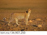 Leopard (Panthera pardus) female, Kgalagadi Transfrontier Park, South Africa. Стоковое фото, фотограф Ann & Steve Toon / Nature Picture Library / Фотобанк Лори