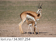 Springbok (Antidorcas marsupialis) and new-born calf suckling, Kgalagadi Transfrontier Park, South Africa. Стоковое фото, фотограф Ann & Steve Toon / Nature Picture Library / Фотобанк Лори