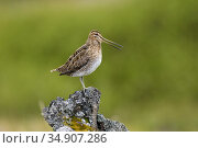 Snipe (Gallinago gallinago) profile, Iceland, June. Стоковое фото, фотограф Niall Benvie / Nature Picture Library / Фотобанк Лори