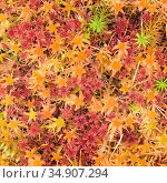 Close up of mosses, Beinn Eighe NNR, Wester Ross, Scotland, UK, October. Стоковое фото, фотограф Niall Benvie / Nature Picture Library / Фотобанк Лори