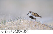 Dunlin (Calidris alpina) summer plumage, Iceland. Стоковое фото, фотограф Niall Benvie / Nature Picture Library / Фотобанк Лори