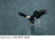 Bald eagle (Haliaeetus leucocephalus) flying over water in falling... Редакционное фото, фотограф Danny Green / Nature Picture Library / Фотобанк Лори