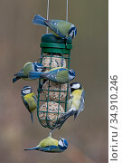 Five  Blue tits (Cyanistes caeruleuss) and one Grat tit (Parus major... Редакционное фото, фотограф David Tipling / Nature Picture Library / Фотобанк Лори