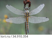 Black tailed skimmer (Orthetrum cancellatum) female resting with dew covered wings. Klein Schietveld, Brasschaat, Belgium. June. Стоковое фото, фотограф Bernard Castelein / Nature Picture Library / Фотобанк Лори