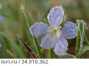 Dog violet (Viola canina) covered with ice particles. Klein Schietveld, Brasschaat, Belgium. May. Стоковое фото, фотограф Bernard Castelein / Nature Picture Library / Фотобанк Лори