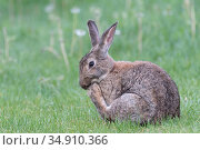 Rabbit (Oryctolagus cuniculus) scratching face with hind leg. Klein Schietveld, Brasschaat, Belgium. May. Стоковое фото, фотограф Bernard Castelein / Nature Picture Library / Фотобанк Лори