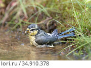 Blue tit (Parus caeruleus) chick bathing. Brasschaat, Belgium. June. Стоковое фото, фотограф Bernard Castelein / Nature Picture Library / Фотобанк Лори