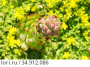 Молодило или каменная роза (лат. Sempervivum) зацветает на клумбе. Стоковое фото, фотограф Елена Коромыслова / Фотобанк Лори