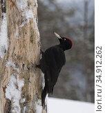 Black woodpecker (Dryocopus martius) male on tree trunk in snow. Kuusamo, Northern Ostrobothnia, Finland. February. Стоковое фото, фотограф Jussi Murtosaari / Nature Picture Library / Фотобанк Лори