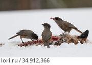 Siberian jay (Perisoreus infaustus), three scavenging on carcass in snow. Kuusamo, Northern Ostrobothnia, Finland. February. Стоковое фото, фотограф Jussi Murtosaari / Nature Picture Library / Фотобанк Лори
