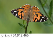Painted lady (Vanessa cardui) butterfly. Finland. August. Стоковое фото, фотограф Jussi Murtosaari / Nature Picture Library / Фотобанк Лори