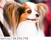 beautiful fluffy continental toy spaniel falen dog. Стоковое фото, фотограф Татьяна Яцевич / Фотобанк Лори