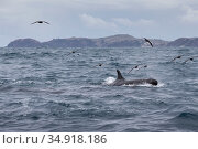 False killer whales (Pseudorca crassidens) followed by Black petrels (Procellaria parkinson), Northern New Zealand Editorial use only. Редакционное фото, фотограф Richard Robinson / Nature Picture Library / Фотобанк Лори