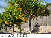 Mandarin trees outdoor, sunny day, nobody. Spain. Стоковое фото, фотограф Alexander Tihonovs / Фотобанк Лори