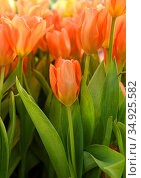 Wonderful Tulips Orange Emperor close up. Стоковое фото, фотограф Валерия Попова / Фотобанк Лори