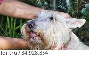 Women's hands stroking the head of a white Scottish Terrier. Стоковое видео, видеограф Алексей Кузнецов / Фотобанк Лори