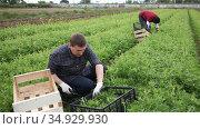 Focused farmer hand harvesting crop of organic mizuna leaves on vegetable plantation. Стоковое видео, видеограф Яков Филимонов / Фотобанк Лори