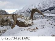 Череп барана-аргали убитого волками в горах. Стоковое фото, фотограф Олег Елагин / Фотобанк Лори