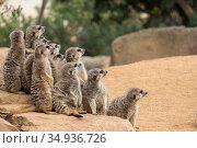 A group of meerkats sits on a stone. Стоковое фото, фотограф Ольга Визави / Фотобанк Лори