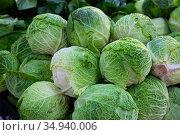 Savoy cabbages. High quality photo. Стоковое фото, фотограф Яков Филимонов / Фотобанк Лори