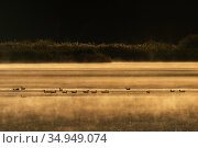 Bean goose (Anser fabalis) flock on lake in mist. Hjalstaviken nature reserve, Uppland, Sweden. October. Стоковое фото, фотограф Staffan Widstrand / Nature Picture Library / Фотобанк Лори