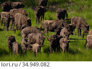 European bison (Bison bonasus) herd in grassland. Eriksberg Wildlife and Nature Park, Blekinge, Sweden. June. Captive. Стоковое фото, фотограф Staffan Widstrand / Nature Picture Library / Фотобанк Лори