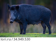 Wild boar (Sus scrofa) sow, portrait. Eriksberg Wildlife and Nature Park, Blekinge, Sweden. October. Captive. Стоковое фото, фотограф Staffan Widstrand / Nature Picture Library / Фотобанк Лори