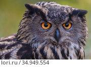 RF - European eagle owl (Bubo bubo) portrait. Vastmanland, Sweden... Стоковое фото, фотограф Staffan Widstrand / Nature Picture Library / Фотобанк Лори