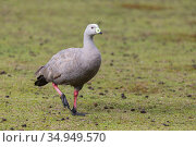 Cape barren goose (Cereopsis novaehollandiae). Kangaroo Island, South Australia. Стоковое фото, фотограф Suzi Eszterhas / Nature Picture Library / Фотобанк Лори