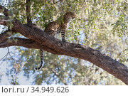 Leopard (Panthera pardus) sitting in tree. Okavango Delta, Botswana. Стоковое фото, фотограф Suzi Eszterhas / Nature Picture Library / Фотобанк Лори