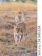 Lion (Panthera leo), three lionesses walking one behind the other through grassland. Okavango Delta, Botswana. Стоковое фото, фотограф Suzi Eszterhas / Nature Picture Library / Фотобанк Лори
