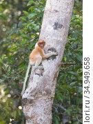 Proboscis monkey (Nasalis larvatus) sub-adult climbing up tree trunk. Tanjung Puting National Park, Indonesia. Стоковое фото, фотограф Suzi Eszterhas / Nature Picture Library / Фотобанк Лори