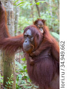 Bornean orangutan (Pongo pygmaeus) female walking with baby aged two years on back. Tanjung Puting National Park, Indonesia. Стоковое фото, фотограф Suzi Eszterhas / Nature Picture Library / Фотобанк Лори