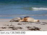 Australian sealion (Neophoca cinerea) female suckling pup on beach. Kangaroo Island, South Australia. October. Стоковое фото, фотограф Suzi Eszterhas / Nature Picture Library / Фотобанк Лори