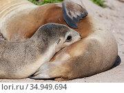 Australian sea lion (Neophoca cinerea) pup suckling. Kangaroo Island, South Australia. November. Стоковое фото, фотограф Suzi Eszterhas / Nature Picture Library / Фотобанк Лори