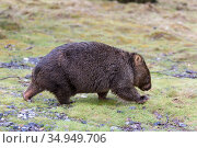 Common wombat (Vombatus ursinus) walking. Cradle Mountain National Park, Tasmania, Australia. Стоковое фото, фотограф Suzi Eszterhas / Nature Picture Library / Фотобанк Лори
