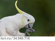 Sulphur-crested cockatoo (Cacatua galerita) grooming. Brisbane, Queensland, Australia. Стоковое фото, фотограф Suzi Eszterhas / Nature Picture Library / Фотобанк Лори