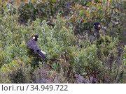 Yellow-tailed black cockatoo (Calyptorhynchus funereus), two perched in scrub. Kangaroo Island, Australia. . Стоковое фото, фотограф Suzi Eszterhas / Nature Picture Library / Фотобанк Лори