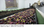 Fresh harvested olives transported on conveyor belt to crushing machine on artisanal factory of olive oil. Стоковое видео, видеограф Яков Филимонов / Фотобанк Лори