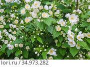 Jasmine flowers on green bush. Стоковое фото, фотограф Юрий Бизгаймер / Фотобанк Лори