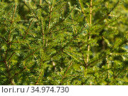 Natural evergreen branches with needles of Christmas tree in pine forest. Close-up view of holiday fir branches pattern background. Стоковое фото, фотограф А. А. Пирагис / Фотобанк Лори