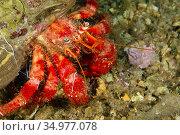 Great Hermitcrab, Dardanus sp. , Cabo Cope-Puntas del Calnegre Natural... Стоковое фото, фотограф Alberto Carrera Anaya / easy Fotostock / Фотобанк Лори