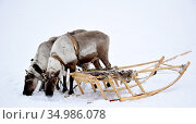 Вечный транспорт тундры- упряжка ездовых оленей с нартами. Стоковое фото, фотограф Николай Новиков / Фотобанк Лори